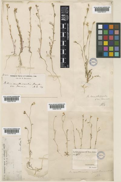 Gilia multicaulis Benth var. stricta Brand