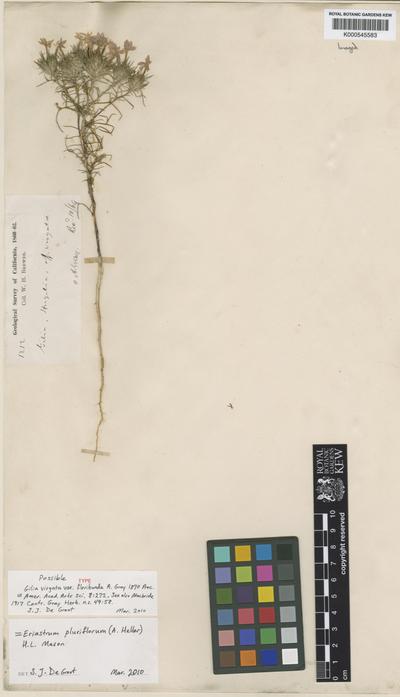 Eriastrum pluriflorum (A.Heller) H.Mason