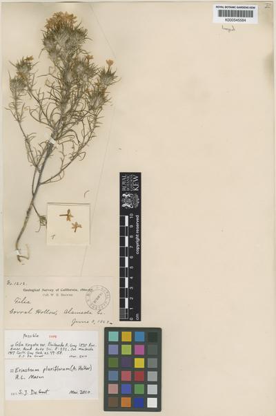 Eriastrum pluriflorum (A. Heller) H. Mason