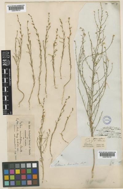 Ipomopsis minutiflora (Benth.) V.E.Grant