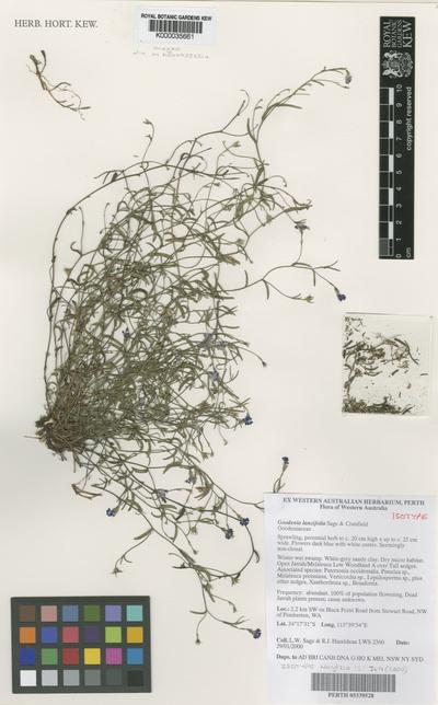 Goodenia lancifolia L.W.Sage & R.Cranfield