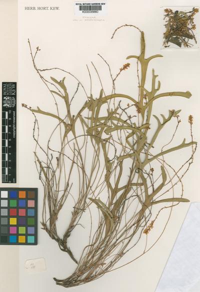 Synaphea brachyceras R.Butcher