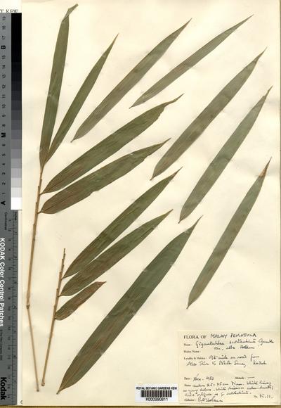 Gigantochloa albovestita (Holttum) K.M.Wong