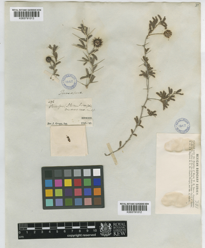 Prosopis cinerascens (A. Gray) A. Gray ex Benth.