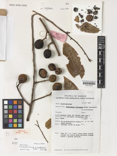 Elaeocarpus barbulatus R.Knuth var. kinabaluensis Coode