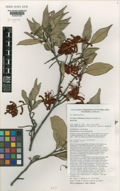 Grevillea callichlaena Molyneux & Stajsic