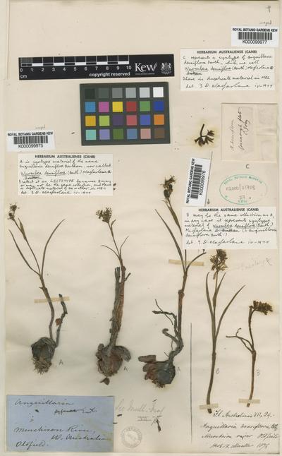 Wurmbea densiflora (Benth.) Macfarlane