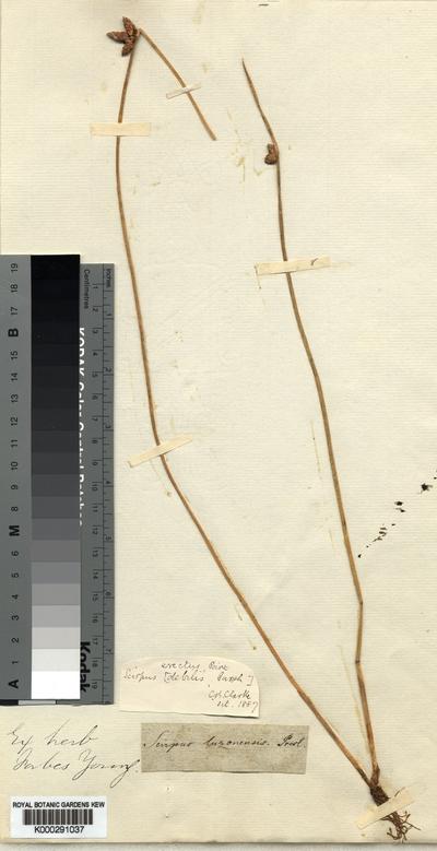 Schoenoplectus juncoides (Roxb.) Palla