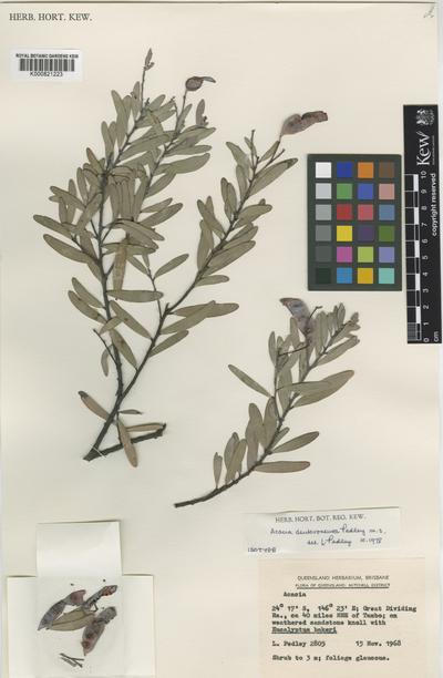 Acacia deuteroneura Pedley