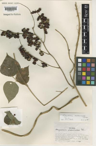 Rhynchosia melanocarpa Grear
