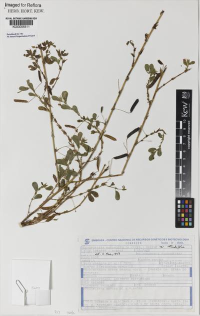 Chamaecrista rotundifolia (Pers.) Greene var. rotundifolia