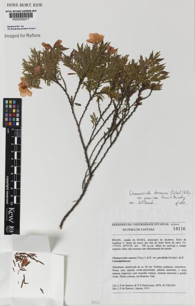 Chamaecrista desvauxii (Collad.) Killip var. graminea Irwin & Barneby