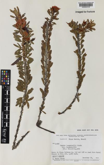 Chamaecrista desvauxii (Collad.) Killip var. langsdorffii (Kunth ex Vogel) H.S.Irwin & Barneby