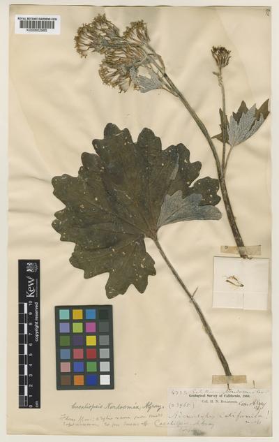 Cacaliopsis nardosmia (A. Gray) A. Gray
