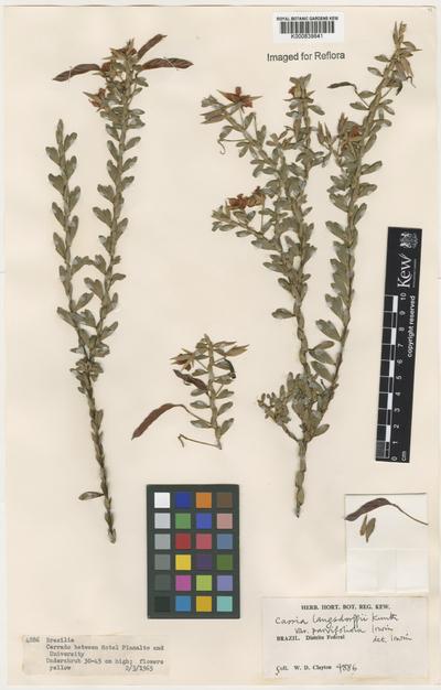Chamaecrista ramosa (Vogel) H.S.Irwin & Barneby var. parvifoliola (H.S.Irwin) H.S.Irwin & Barneby