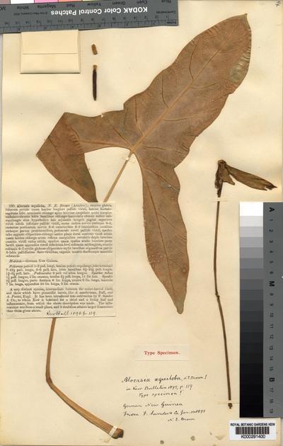 Alocasia aequiloba N.E.Br.