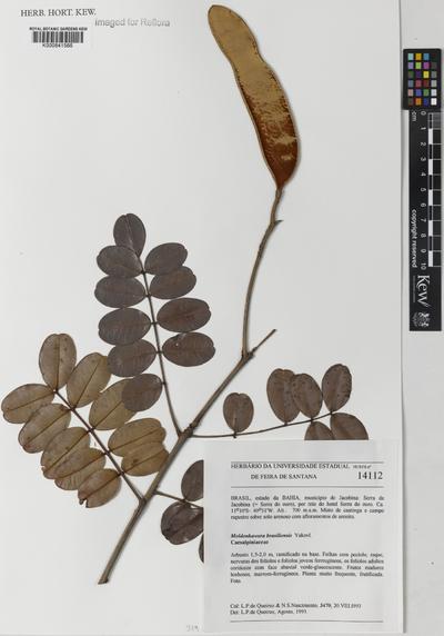 Moldenhawera brasiliensis Yakovlev