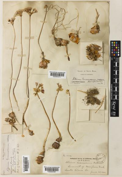 Allium lacunosum S.Watson