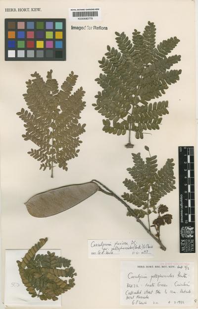 Caesalpinia pluviosa DC. var. peltophoroides (Benth.) G.P. Lewis