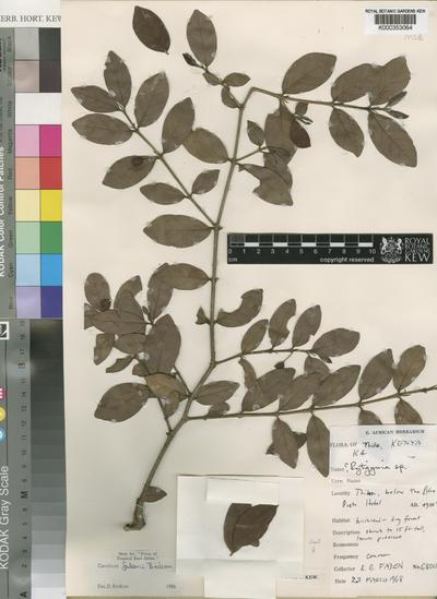 Canthium fadenii Bridson