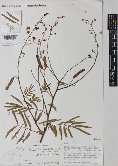 Mimosa bimucronata (DC.) Kuntze var. bimucronota
