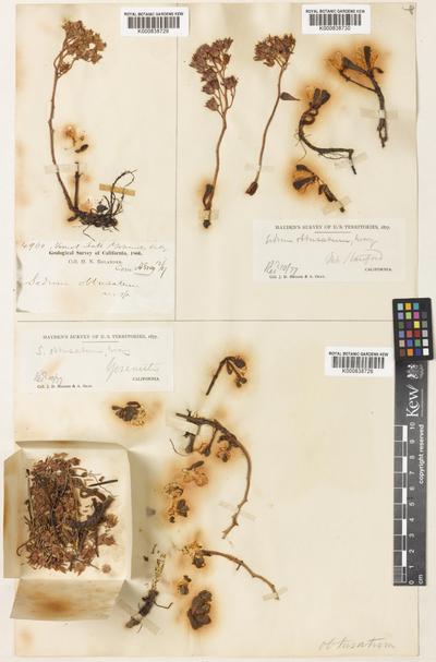 Sedum obtusatum A.Gray