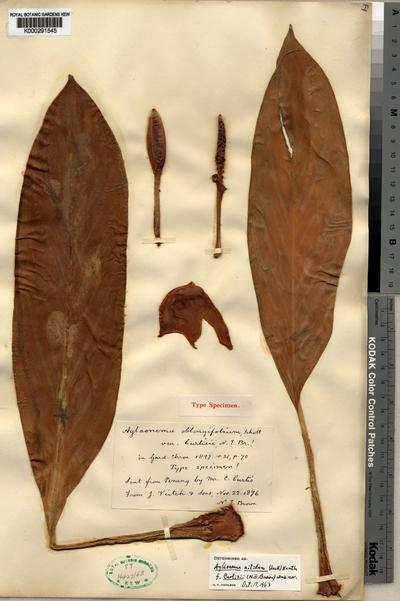 Aglaonema nitidum (Jack) Kunth f. curtisii (N.E.Br.) Nicolson