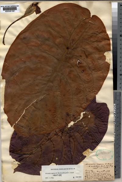 Alocasia cuprea (C.Koch & Bouché) C.Koch