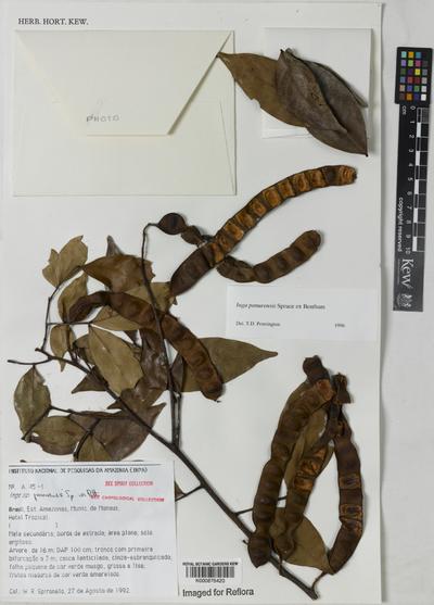 Inga panurensis Spruce ex Benth.