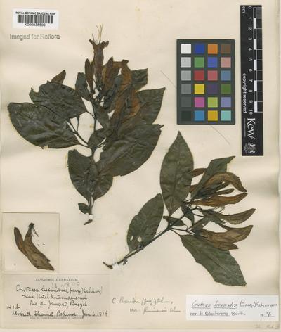 Coutarea hexandra (Jacq.) K.Schum.