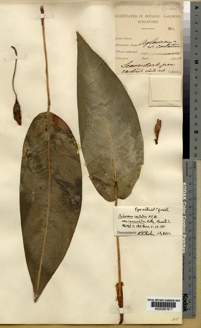 Aglaonema costatum N.E.Br. f. immaculatum (Ridl.) Nicolson