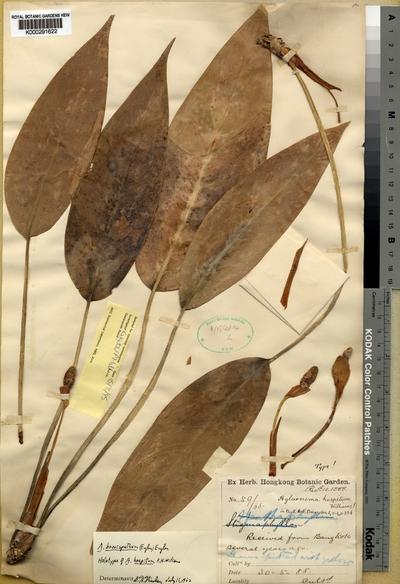 Aglaonema brevispathum (Engl.) Engl. forma hospitum (F.N. Williams) Nicolson