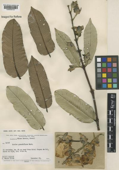 Qualea grandiflora Mart.