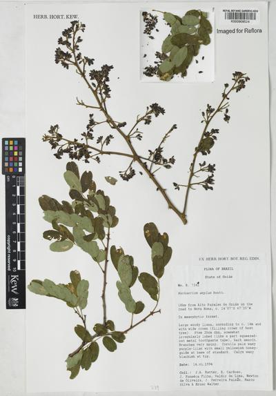Machaerium amplum Benth.