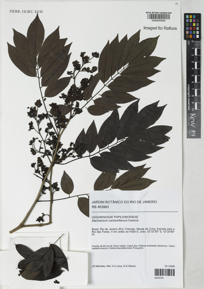 Machaerium cantarellianum Hoehne