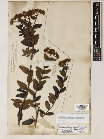 Austrocritonia rosea (Gardner) R.M.King & H.Rob.