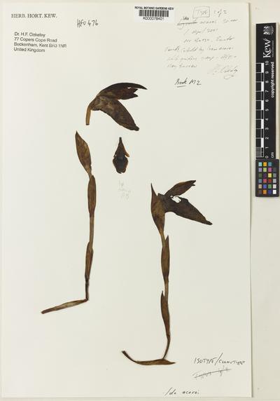Sudamerlycaste acaroi (Oakeley) Archila