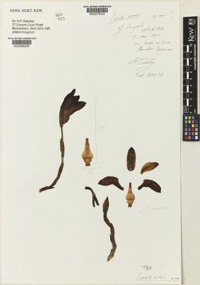 Sudamerlycaste ariasii (Oakeley) Archila