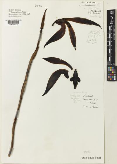 Sudamerlycaste castanea (Oakeley) Archila