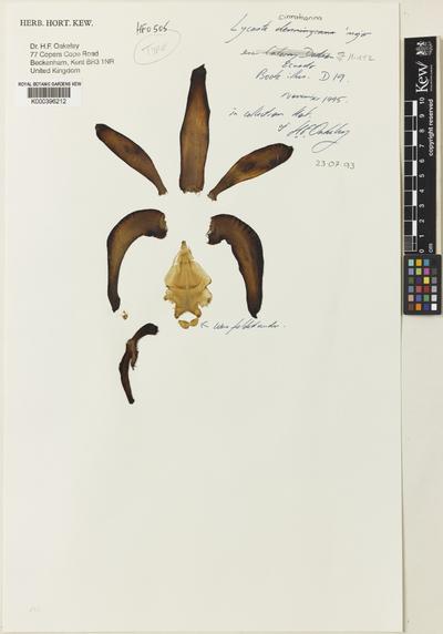 Sudamerlycaste cinnabarina (Lindl. ex J.C.Stevens) Archila var. major (Oakeley) Archila