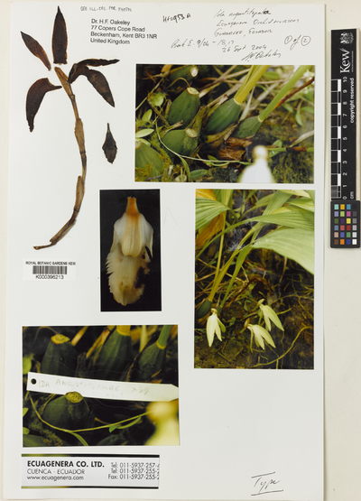 Sudamerlycaste angustitepala (Oakeley) Archila
