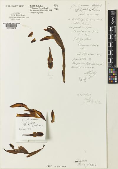 Sudamerlycaste cobbiana (B.S.Williams) Archila