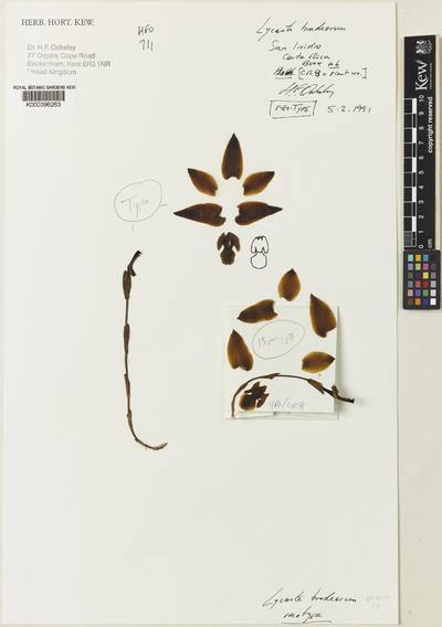 Lycaste bradeorum Schltr.