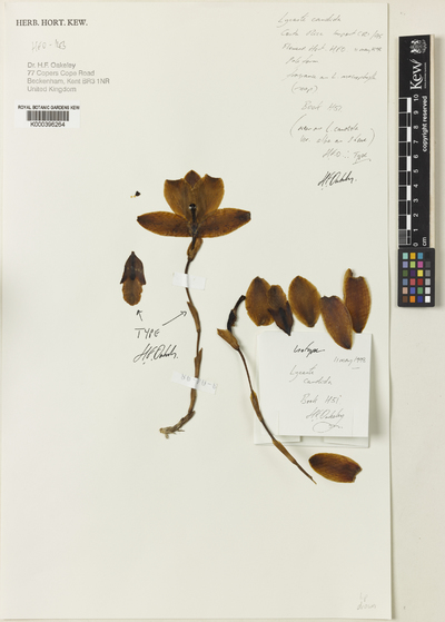 Lycaste candida Lindl. ex Rchb.f. var. alba Oakeley