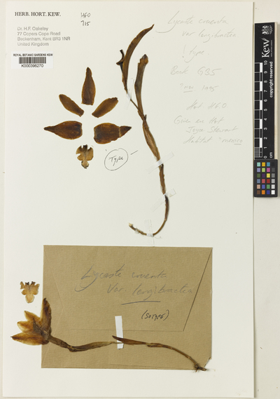 Lycaste cruenta (Lindl.) Lindl. var. longibracteata Oakeley