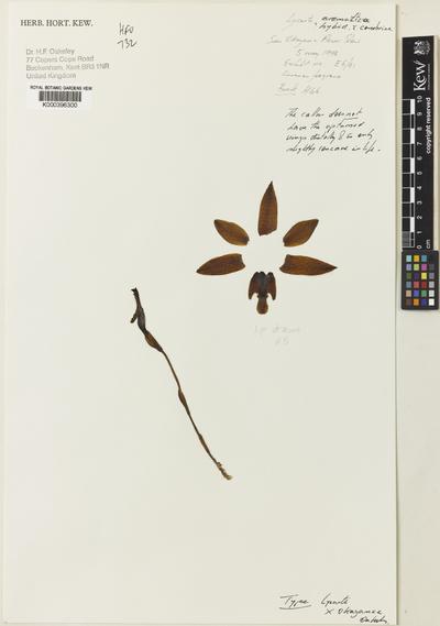 Lycaste aromatica (Graham) Lindl.