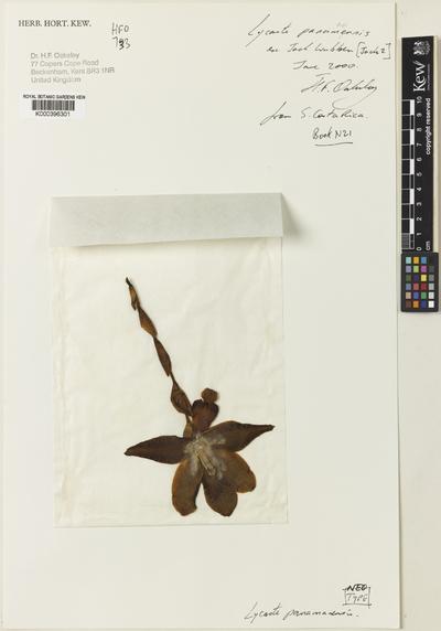 Lycaste panamanensis Oakeley