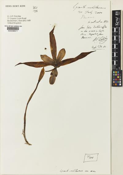 Lycaste schilleriana Rchb.f. var. rosea Oakeley