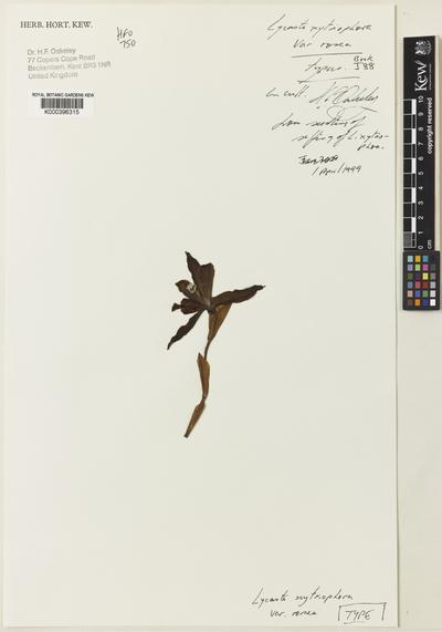 Lycaste xytriophora Linden & Rchb.f. var. rosea Oakeley