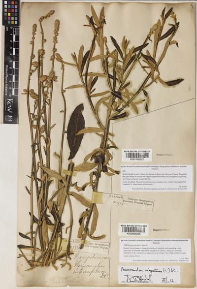 Pterocaulon virgatum (L.) DC.